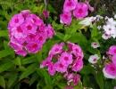 plaménka (Phlox paniculata ´Special Purple Star´)