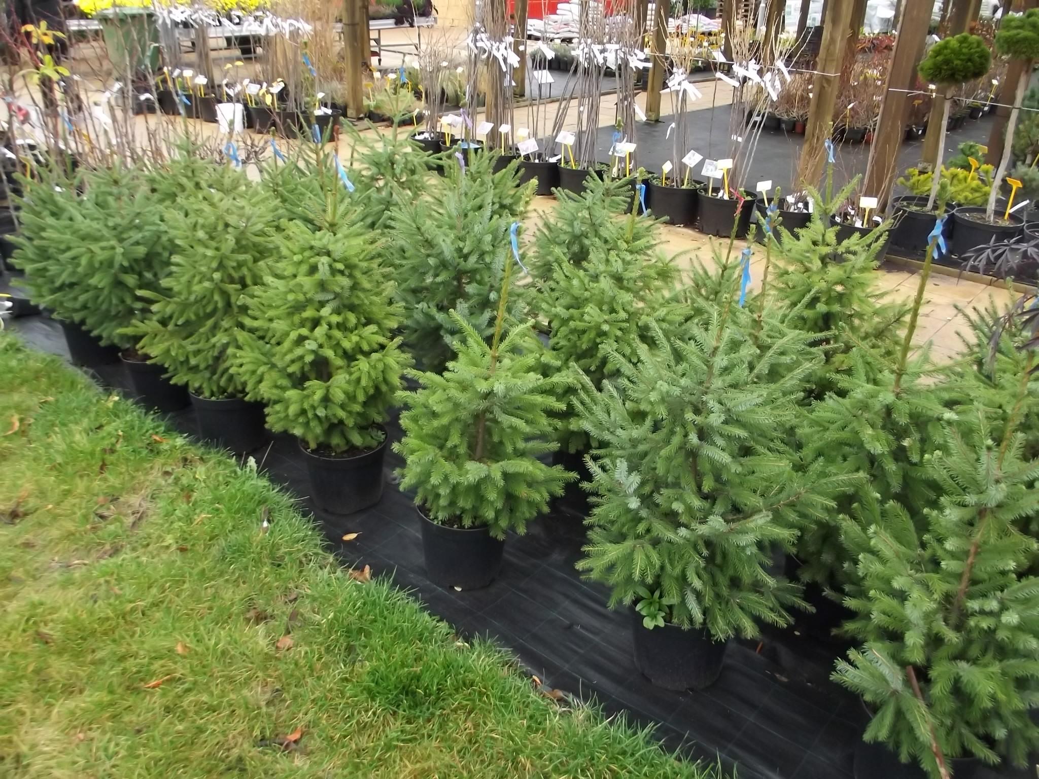 kontejnerované vánoční stromky