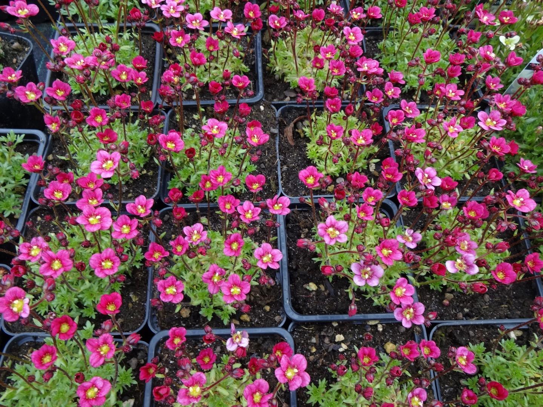 kvetoucí lomikámen