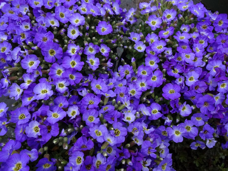 kvetoucí tařička