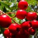 Ostatní ovocné dřeviny