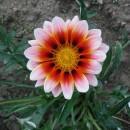 Ostatní květiny do truhlíků